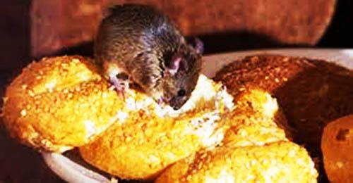 Diệt chuột ở Nam Định hiệu quả ảnh 2