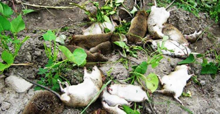 Diệt chuột tại Hòa Bình