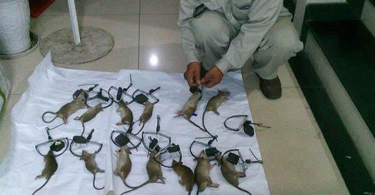 Diệt chuột tại Bắc Giang