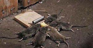 Diệt chuột tại Thái Nguyên