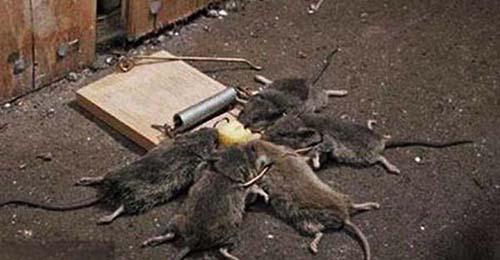 Diệt chuột tại nhà ở Ninh Bình ảnh 2