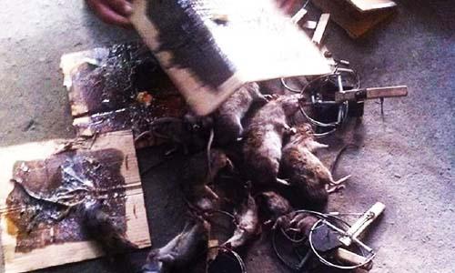 Công ty diệt chuột giá rẻ Bình Định
