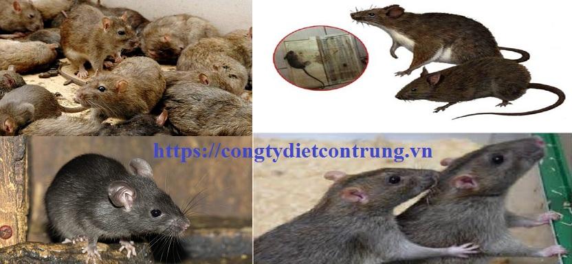 Dịch vụ diệt chuột Bình Dương