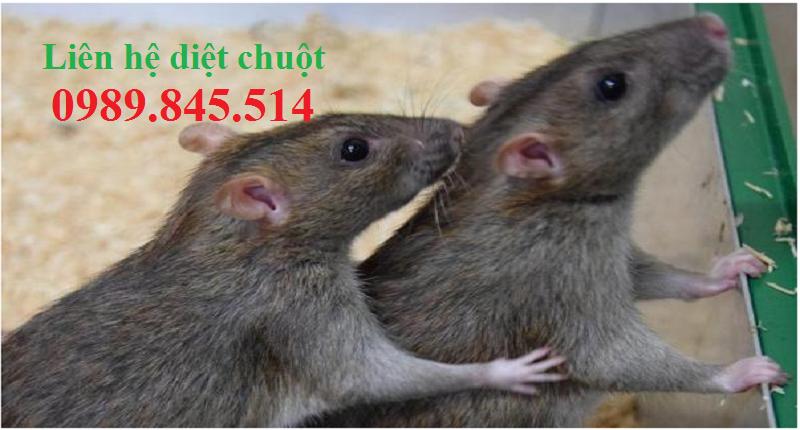 Công ty diệt chuột hiệu quả Phú Yên